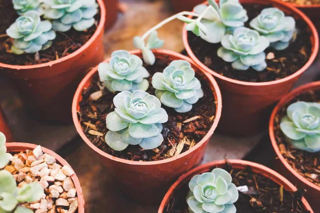 How Do Succulents Reproduce