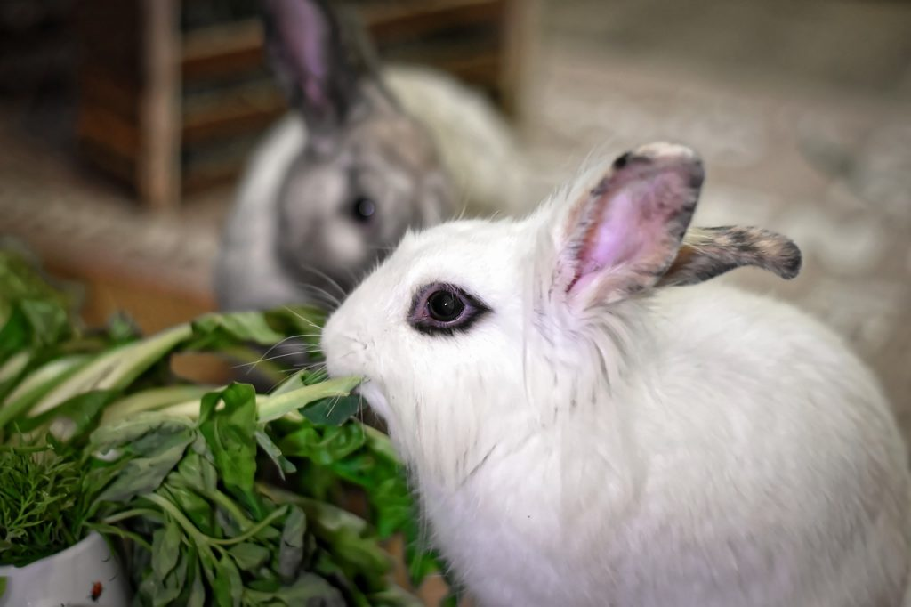 Are Succulents Poisonous to Rabbits