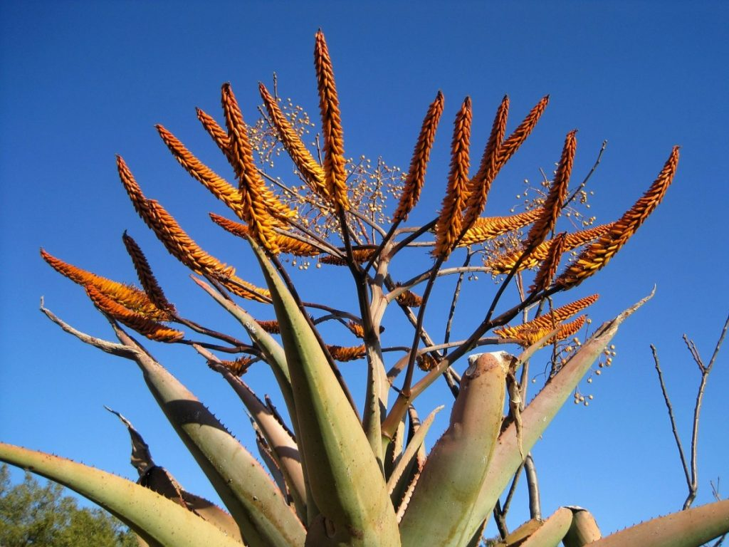 Aloe Vera Plant Turning Brown and Soft