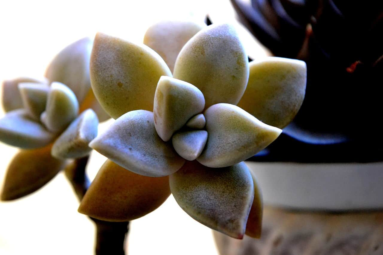 Succulent Turning Yellow