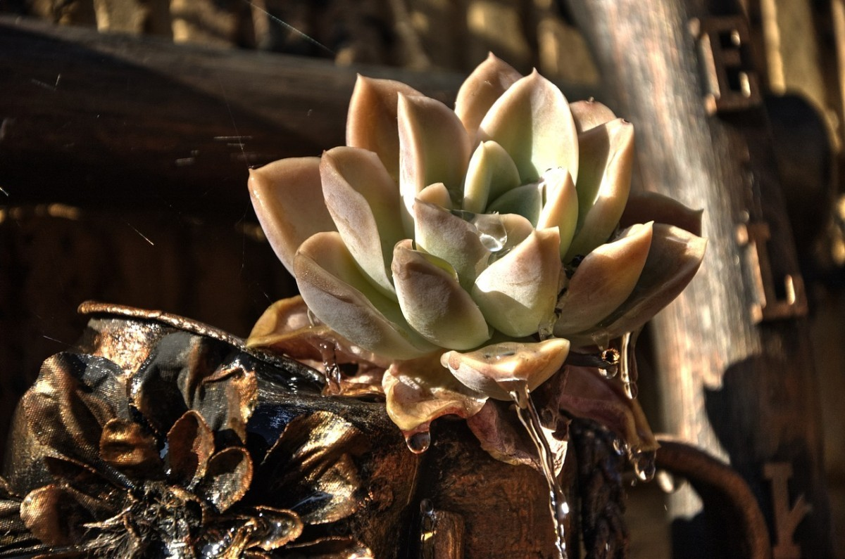 Succulent Leaves Curling Down