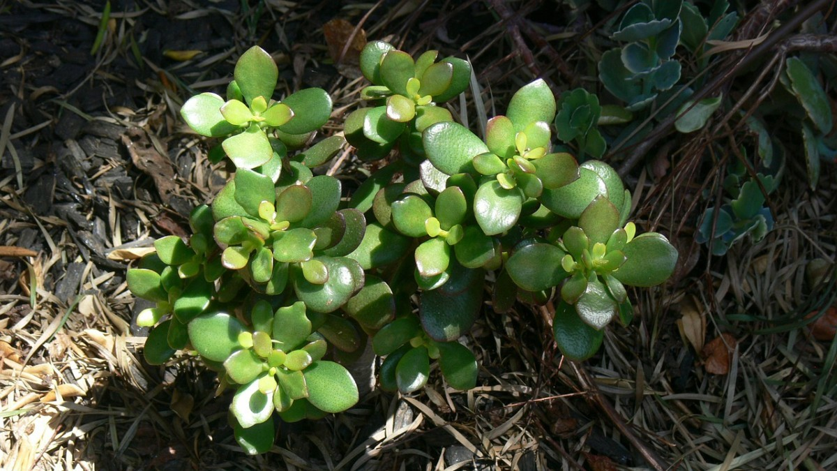 How to Grow a Jade Plant from A Broken Stem