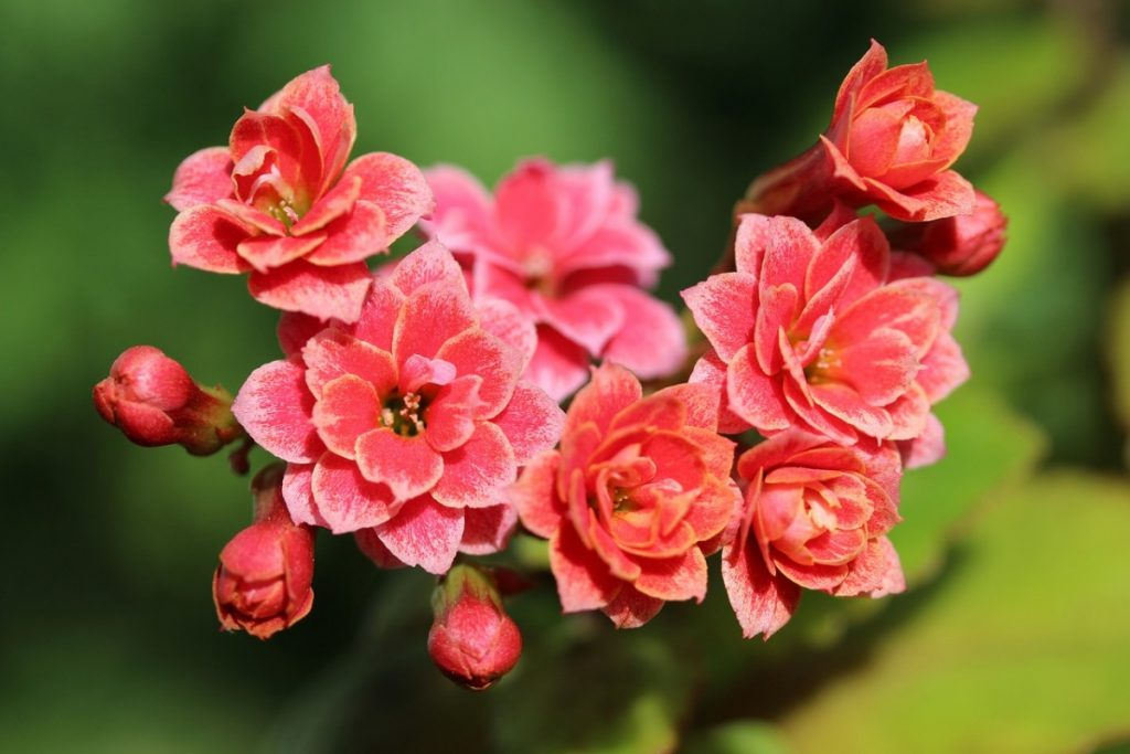 Is Kalanchoe Poisonous to Humans
