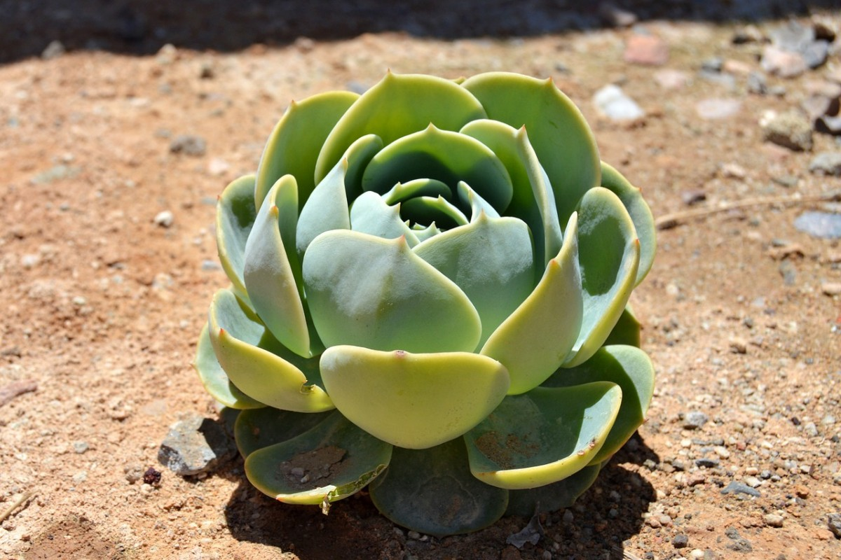Can You Plant Succulents in the Ground