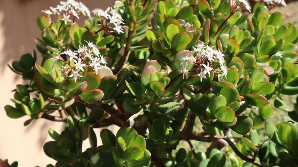 Jade Plant Too Heavy Falling Over